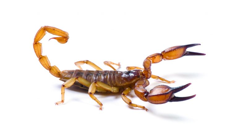 Australian Flinders Ranges Scorpian ready to strike on a white background.